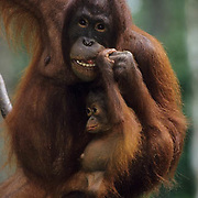 Orangutan (Pongo pygmaeus).  Portrait of a mother and a baby on a hanging vine in a rain forest in Malaysia.