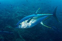 Yellowfin Tuna, Thunnus Albacares, Roca Partida, Revillagigedo Archipelago, Mexico, Pacific Ocean