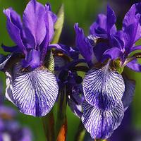 """Purple Iris Doubled""<br /> <br /> Gorgeous purple Irises!"