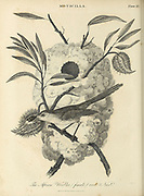 Female African warbler (Macrosphenidae) at her nest Copperplate engraving From the Encyclopaedia Londinensis or, Universal dictionary of arts, sciences, and literature; Volume XVI;  Edited by Wilkes, John. Published in London in 1819