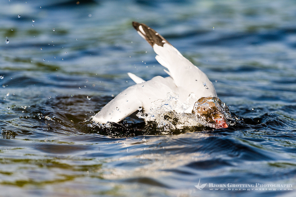 Norway, Stavanger. Black-headed Gull.