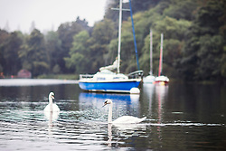 © Licensed to London News Pictures. 14/09/2016. Glenridding UK. Picture shows swans swimming by a boat on the still water of Ullswater Lake in the morning mist at Glenridding this morning. After last nights thunderstorms in the north of England Cumbria woke to a calm but misty morning. Photo credit: Andrew McCaren/LNP