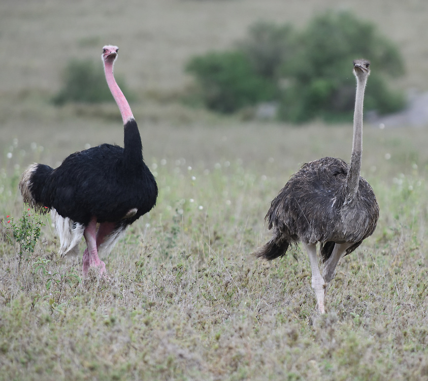 Male (left) and female common ostrich (Struthio camelus). Serengeti National Park, Tanzania.
