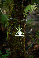 The rare and exquisite ghost orchid photographed just after dawn in its natural environment.