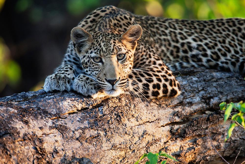 A leopard (Panthera pardus) laying on a log at sunset, portrait, Khwai River, Botswana,Africa