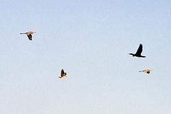 Heron, Osprey & Cormorant