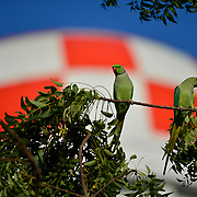 CAMP LEMONNIER, Djibouti -- 7/25/21 -- Two ring-necked parakeets sit on a branch outside Building 300, the Combined Joint Task Force-Horn of Africa Headquarters at Camp Lemonnier. The camp's water tower fills the background. <br /> Ringneck parakeets (Psittacula krameri) live in tropical areas ranging from west Africa to India and south of the Himalayas. (U.S. Navy Photo by Chief Mass Communication Specialist Roger S. Duncan)