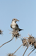 Young Burmese Shrike (Lanius collurioides) Perched on a thorn bush Israel Spring June 2007