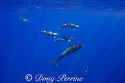 marine biologist Jeff Milisen free dives to photograph a a pod of bottlenose dolphins, Tursiops truncatus, interacting with short-finned pilot whales, Globicephala macrorhynchus, north Kona Coast, Hawaii, U.S.A. ( Central Pacific Ocean )