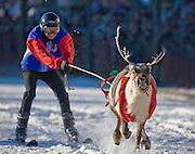 Alaska. Reindeer Races in downtown Anchorage 2008.