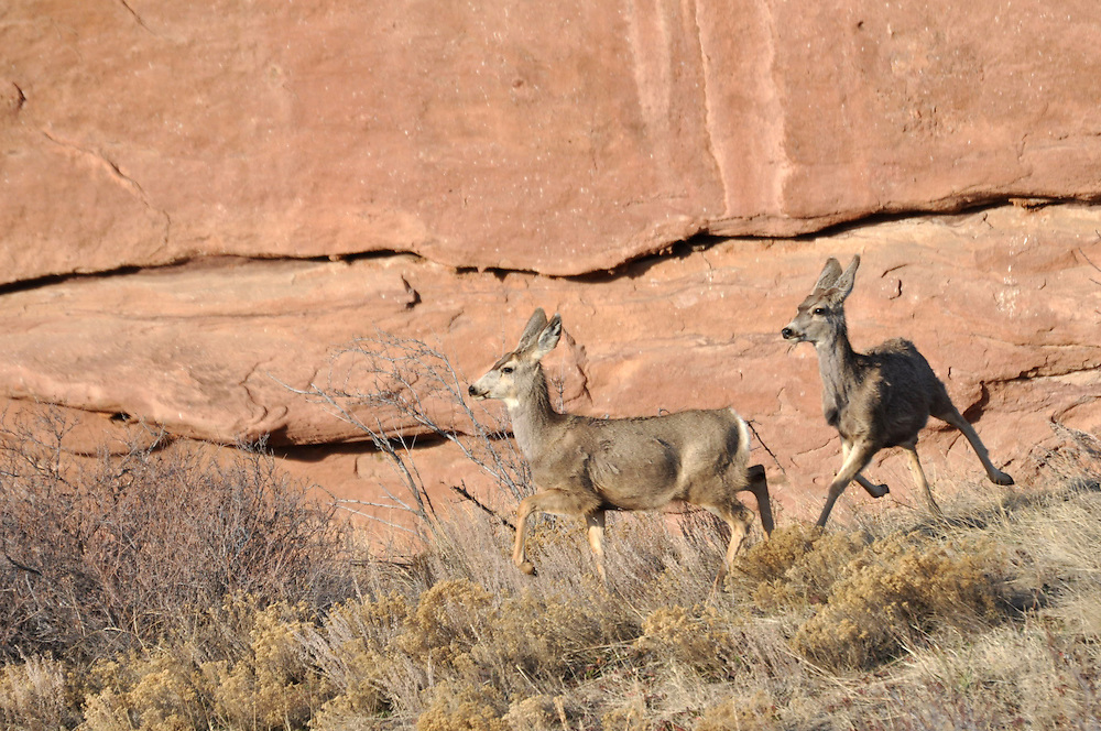 Deer in the early morning light at Red Rocks Park in Colorado on March 17, 2010.