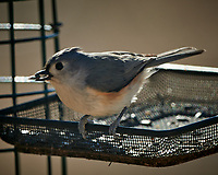 Tufted Titmouse. Image taken with a Nikon D850 camera and 500 mm f/4 VR telephoto lens (ISO 90, 500 mm, f/4, 1/500 sec).