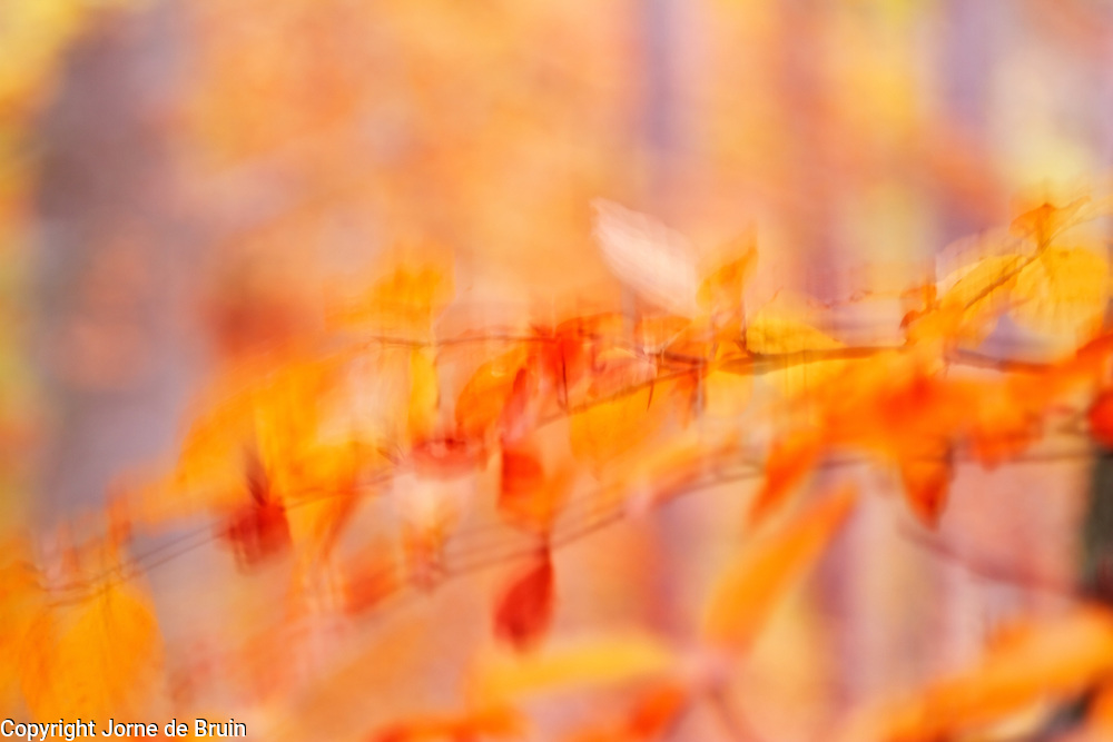The wind blows the yellow leaves of Birch Trees in Autumn colour in Glen Affric, Scotland.