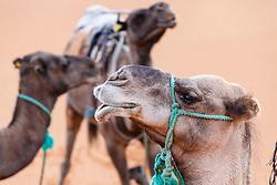 Camels portrait, Erg Chebbi, Saharan Desert, Morocco
