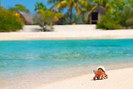 Cangrejo ermitaño, Archipiélago Tuamotu, Polinesia Francesa