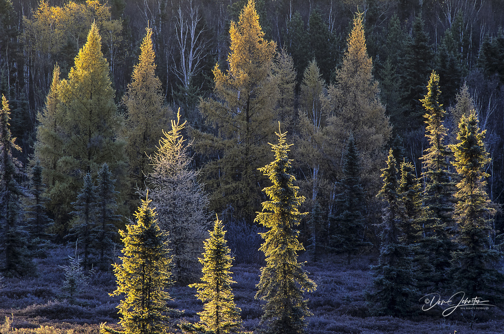 Frosted larch trees at dawn  in leatherleaf bog, Greater Sudbury, Ontario, Canada