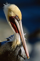 Close view of a brown pelican (Pelecanus Occidentalis)in breeding plumage.