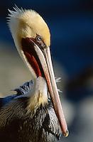 Close view of a brown pelican (Pelecanus Occidentalis)in breeding plumage.