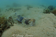common stargazer, Eastern stargazer, or banded stonelifter, Kathetostoma laeve, buries itself <br /> in the sand (#2 in sequence of 4), Port Phillip Bay, Victoria, Australia