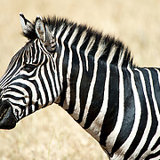 Profile of a zebra at Tarangire National Park in northern Tanzania not far from Ngorongoro Crater and the Serengeti.
