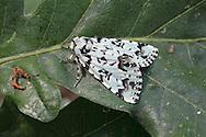 Scarce Merveille du Jour moth - Moma alpium