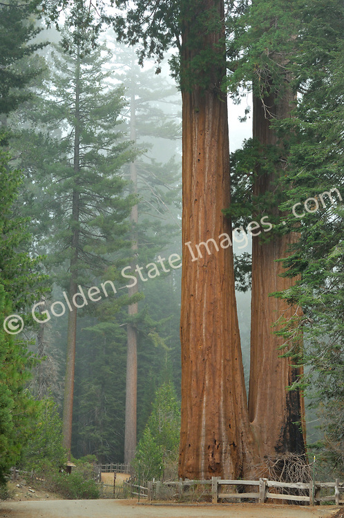 Grant Grove Sequoias in clearing morning fog.    <br /> <br /> Species: Sequoiadendron giganteum