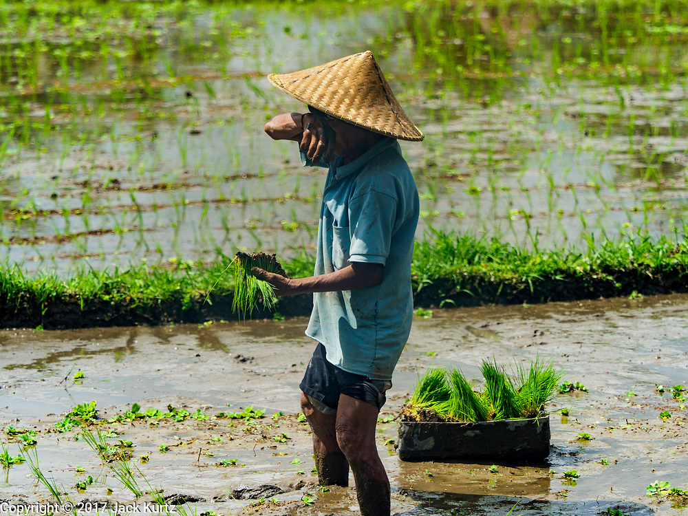 10 AUGUST 2017 - UBUD, BALI, INDONESIA: A man wipes his face while transplanting rice plants in a rice field about 1.5 kilometers from downtown Ubud. Rice is the most important crop grown on Bali and is important as a food source and a symbol of Balinese culture. In accordance with Balinese tradition, men transplant the young rice plants from nurseries to the fields and women harvest the rice when it matures.     PHOTO BY JACK KURTZ