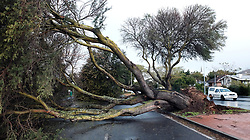 South Africa - Cape Town - 140720. The second cold front hitting Cape Town in just days after each other left a trail of uprooted trees in various parts of the City. In Frans Connradie Drive near Bellville four massive thorn trees lining the boulevard were uprooted by gale force winds in the early hours of Monday morning.  Picture: Ian Landsberg/African News Agency (ANA).