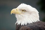 Bear Mountain, New York -  A captive bald eagle at the Bear Mountain Zoo on  Feb. 20, 2007.