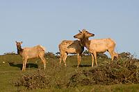 A herd of Tule Elk, Point Reyes California