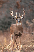 Whitetail deer (Odocoileus virginianus) during the autumn rut