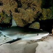 Caribbean reef shark (Carcharhinus perezi), male, sleeping under a coral reef ledge, Harbour Island, Bahamas.