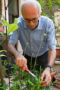 Riccardo Casagrande, a monk brother priest at the San Marcello al Corso Church in Rome, Italy, snips basil leaves for supper on the church rooftop garden. (Riccardo Casagrande is featured in the book What I Eat: Around the World in 80 Diets.) Casagrande is in charge of the kitchen, garden, and wine cellar for the brotherhood. MODEL RELEASED..