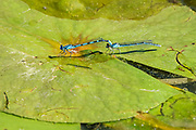 Damselflies mating on lily pad<br />SIoux Narrows Provincial Park<br />Ontario<br />Canada