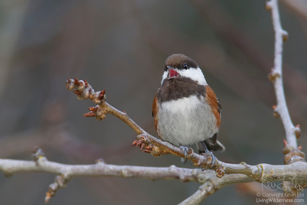 A chestnut-backed chickadee (Poecile rufescens) sings while perched on a branch in Snohomish County, Washington. The small songbird is known for its ability to lower its body temperature to conserve energy during cold winter nights and for its spatial memory to find food that it stashed away.