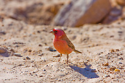 Sinai Rosefinch (Carpodacus synoicus) male on the ground, negev desert, israel