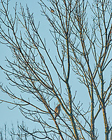 Cooper's Hawk being harassed by Blue Jay. Image taken with a Nikon 1 V3 camera and 70-300 mm VR lens.