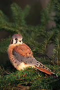 An american kestrel (Falco sparverius), Washington.