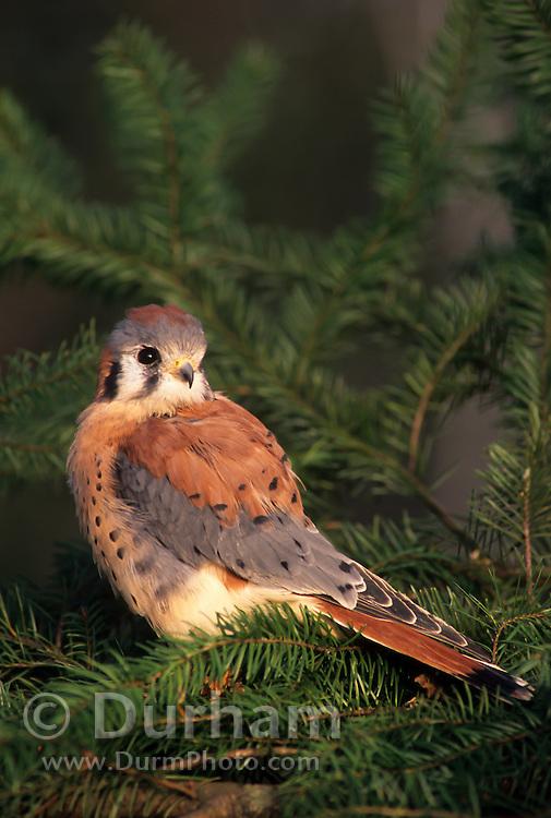 An american kestrel (Falco sparverius), Washington.