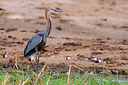 Goliath heron (Ardea goliath) from the banks of the White Nile, Uganda.