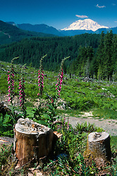 Mt. Adams from Clearcut, Gifford Pinchot National Forest, Washington, US