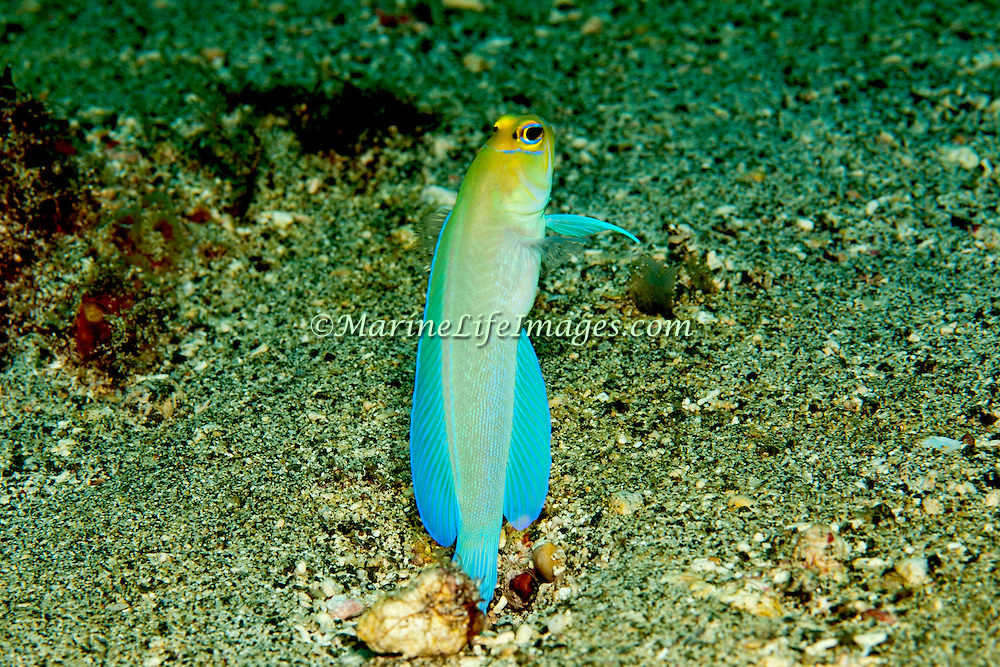 Bluebar Jawfish inhabit areas of sand and coral rubble, hover above burrows; known from St. Vincent & Tobago; picture taken St. Vincent.