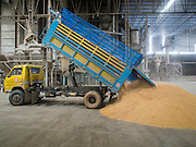 08 SEPTEMBER 2014 - BANG BAN, PHRA NAKHON SI AYUTTHAYA, THAILAND: A truck unloads freshly harvested rice in a warehouse in Ban Bang, Phra Nakhon Si Ayutthaya province. Rice farmers in central Thailand are harvesting their rice crop. The race is on to get the rice harvested before the Chao Phraya River and its tributaries start their cycle of annual floods. Although the central plains have gotten less rain than normal, communities in northern Thailand are experiencing a heavy monsoon and flood gates upriver of the central plains have been opened. The flood waters are expected to reach Phra Nakhon Si Ayutthaya province by the middle of September. This year's rice crop is expected to be lower than last year's because many farmers planted less rice because the government subsidy program ended.      PHOTO BY JACK KURTZ