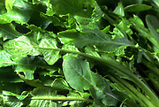 Close up selective focus photograph of some Dandelion leaves