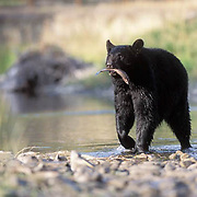 Black Bear, (Ursus americanus) Montana. Adult at river feeding on fish.  Captive Animal.