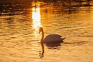 Swans, Dam Pond Preserve, East Marion, New York, Long Island