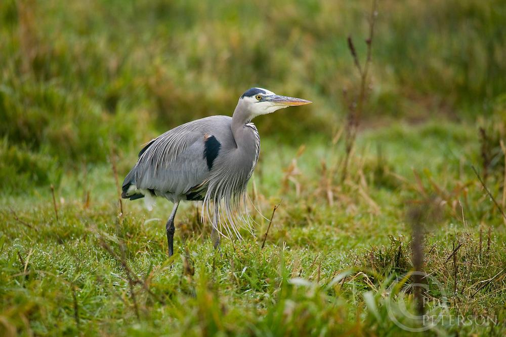 mature blue heron in grassy marsh