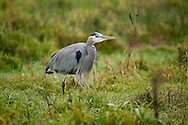 mature blue heron in grassy marsh