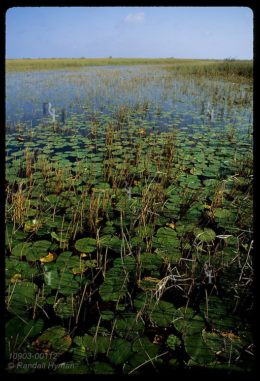 Lily pads carpet the clear waters of a flooded Everglades marsh north of the Tamiami Trail (v). Florida