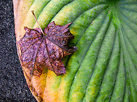 vine maple leaf on hosta leaf in autumn